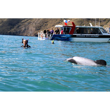 Swim with Hector's Dolphins in Canterbury